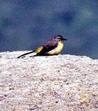 Die Gebirgsstelze (Motacilla cinerea patriciae Vaurie) ist eine von 13 endemischen Vogelarten auf den Azoren.