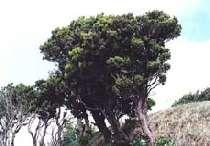Die Besenheide (Erica azorica Hochst. ex Seub) gehörte zu den Erstbesiedlern des Archipels und ist auch heute noch sehr verbreitet. Wir bis 6 Meter hoch.