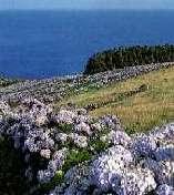 Wie Adern überziehen Hortensienhecken die Inseln der Azoren