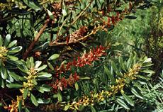 Der Makaronesischer Gagelbaum, auch Wachsmyrte (Myrica faya ) war einstmals die vorherrschende Baumart auf den Azoren.